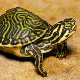 La primera tortuga no se olvida